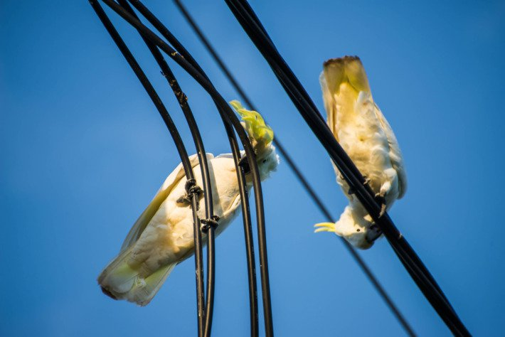 Polly want a broadband connection? Cockatoos cost Australian cable company
